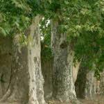 Platan Sadnice