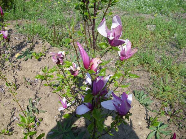 002_magnolija