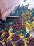 003_lozni kalemovi spremni za sadnju