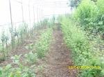 049_bezvirusne maticne biljke