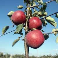 jabuka braeburn vocne sadnice Braeburn Jabuka Voćne Sadnice