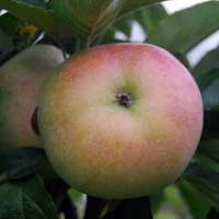 jabuka budimka vocne sadnice Budimka Jabuka Voćne Sadnice