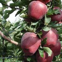 jabuka crveni delises chamspur vocne sadnice Super cena crveni delišes cham spur sadnice