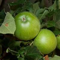 jabuka greni smit spur vocne sadnice Greni Smit Spur Voćne Sadnice