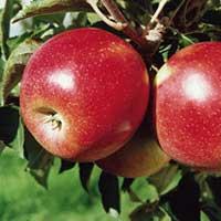 jabuka jonagold vocne sadnice Jonagold Jabuka Voćne Sadnice