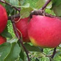 jabuka sumatovka vocne sadnice Šumatovka Jabuka Voćne Sadnice