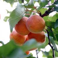 kajsija madjarska najbolja vocne sadnice Mađarska najbolja kajsija