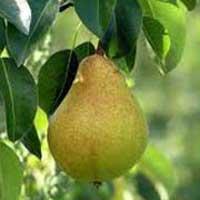 Kiferova Citronka Kruška Voćne Sadnice