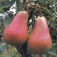 kruska viljamovka crvena vocne sadnice Nova stranica viljamova crvena kruška sadnice