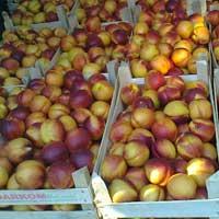 nektarina fantazija vocne sadnice Dodato fantazija nektarina sadnice