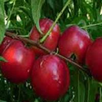 nektarina kaldezi 2000 vocne sadnice Info kaldezi 2000 nektarina sadnice