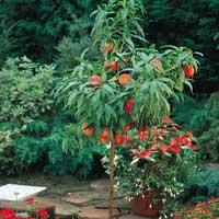 breskva patuljaste vocne sadnice Kvalitet breskva patuljasta sadnice