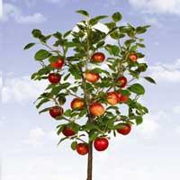 jabuka patuljaste vocne sadnice Jabuka Patuljasta Voćne Sadnice