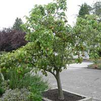 kruska patuljaste vocne sadnice Najbolji izbor kruška patuljasta sadnice