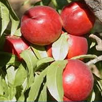 nektarina patuljaste vocne sadnice Nektarina Patuljasta Voćne Sadnice