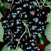 ribizla crna vocne sadnice Novina na sajtu ribizla sadnice