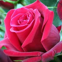 Čajevke Ruže Sadnice