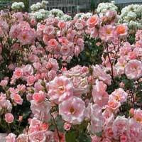 polijante sadnice ruza Nova vest polijante ruže sadnice