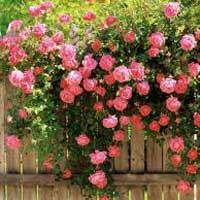 puzavice sadnice ruza Sertifikovane puzavice ruže sadnice