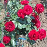 stablasice sadnice ruza Sertifikovano stablašice ruže sadnice