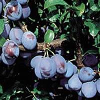 jojo sljiva vocne sadnice Hit Cena jojo šljiva sadnice