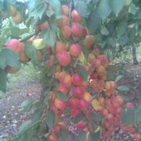 sljiva ruska dzenarika vocne sadnice Kvalitet ruska džanarika sadnice šljiva