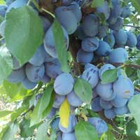 sljiva stenlej vocne sadnice Super izbor stenlej sadnice šljiva