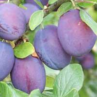 sljiva valor vocne sadnice Nova stranica valor sadnice šljiva