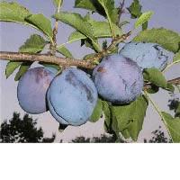 timocanka sljiva vocne sadnice Najbolji izbor timočanka šljiva sadnice