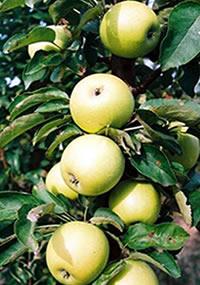 stubasta jabuka djerdan vocne sadnice Jabuka Stubasta Voćne Sadnice