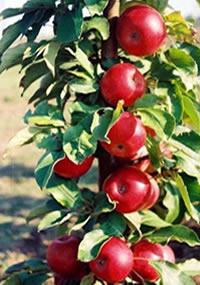 stubasta jabuka kraljica cardasa vocne sadnice Jabuka Stubasta Voćne Sadnice