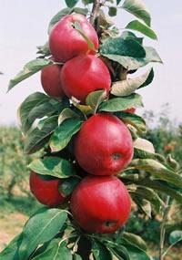 stubasta jabuka rumeno vreteno vocne sadnice Jabuka Stubasta Voćne Sadnice