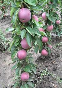 stubasta jabuka vesna vocne sadnice Jabuka Stubasta Voćne Sadnice