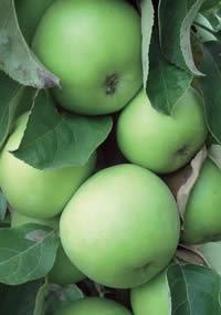 stubasta jabuka zeleni dragulj vocne sadnice Jabuka Stubasta Voćne Sadnice