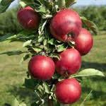 Jabuka Stubaste Voćne Sadnice