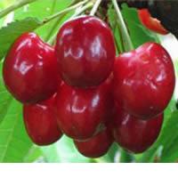 tresnja van vocne sadnice Objava van trešnja sadnice