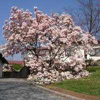 Magnolija Sadnice