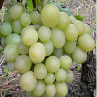 medijana vinova loza kalemovi Objavljena stranica medijana vinova loza