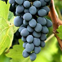 moldavija vinova loza Info za moldavija vinova loza