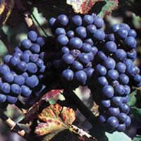 crni burgundac loza kalemovi Dokazano crni burgundac vinova loza