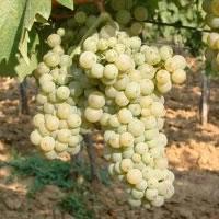 italijanski rizling vinova loza kalemovi Italijanski Rizling Lozne Sadnice
