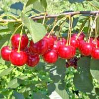 visnja cacanski rubin vocne sadnice Čačanski Rubin Višnja Voćne Sadnice
