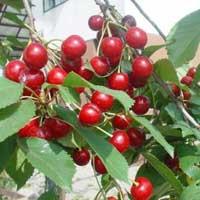 visnja sumadinka vocne sadnice Provereno šumadinka višnja sadnice
