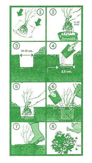 uputstvo sadnice ruza 2 Saveti
