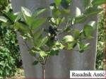 vocne sadnice aronija nero kalemljena 150x112 SADNICE ARONIJE   NAJPOVOLJNIJE