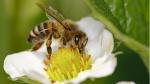 pccela na cvetu GG 1 150x84 Uloga pčela u voćarstvu