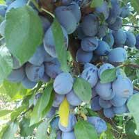 sljiva stenlej vocne sadnice Prodaja voćnih sadnica