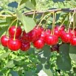 visnja cacanski rubin vocne sadnice 150x150 Voćne sadnice